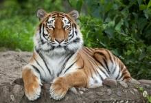 Тигр растерзал смотрителя до смерти в Цюрихском зоопарке на глазах у перепуганных посетителей