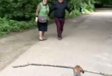Такса подобрала на прогулке большую палку и носит её, заставляя людей отходить в сторону