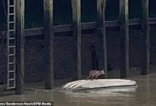 Пожарные спасают лису из Темзы после того, как она застряла на корпусе перевернутой лодки