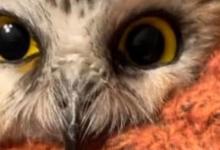 «Чудо на Рождество 2020 года». Маленькая сова, застрявшая в ёлке Рокфеллеровского центра, спасена