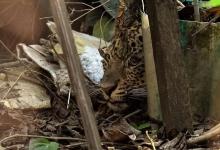 Огромный леопард вошёл в общежитие для девочек и попал в ловушку под диваном
