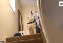 Упрямая собака хаски отказывается спускаться вниз в веселом противостоянии с владельцем