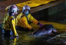 Детеныша кита, застрявшего в Ричмондском шлюзе в реке Темзе СПАСЛИ и выпустили обратно в море