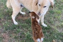 Восхитительный момент собака по имени Харли спасает олененка от утопления в озере в Вирджинии и вытаскивает его на берег