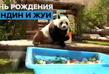 Панды Диндин и Жуи впервые отметили день рождения в Московском зоопарке